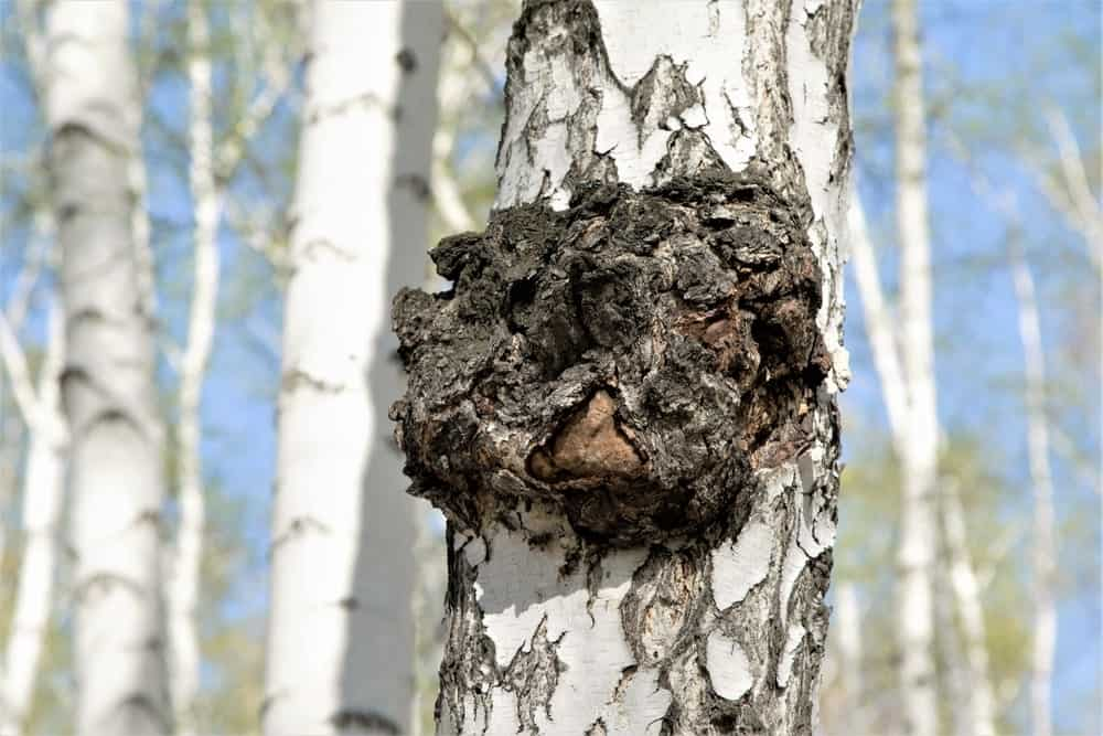 A large piece of Chaga mushroom growing on Birch tree trunk.