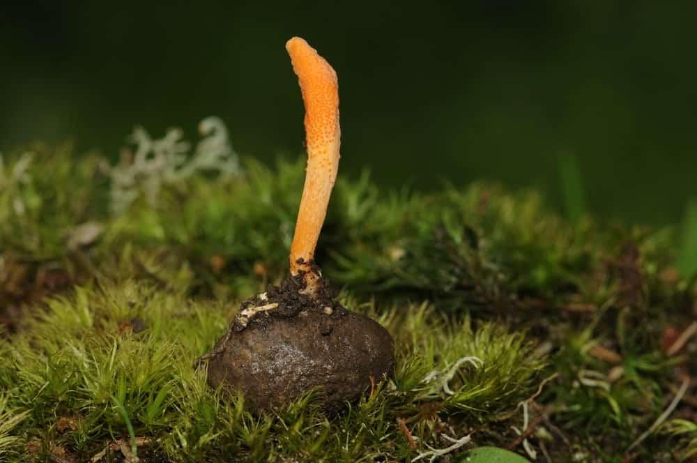 A single piece of Cordyceps mushroom growing on a butterfly cocoon.