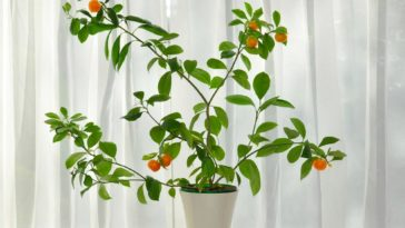 A mandarin fruit-bearing plant by the window.