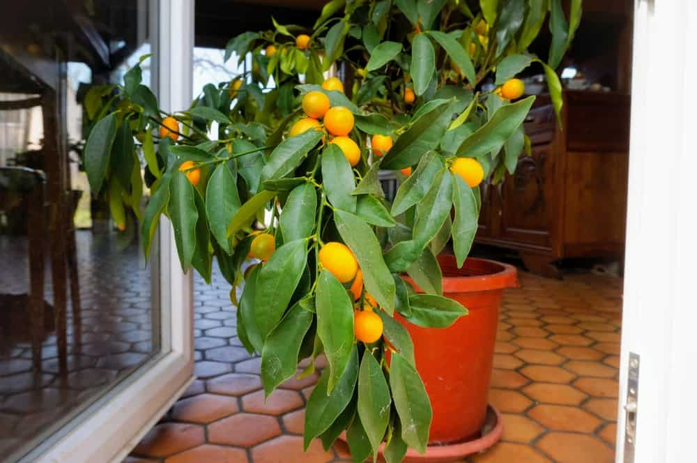 A potted fruit-bearing lemon plant inside the house.