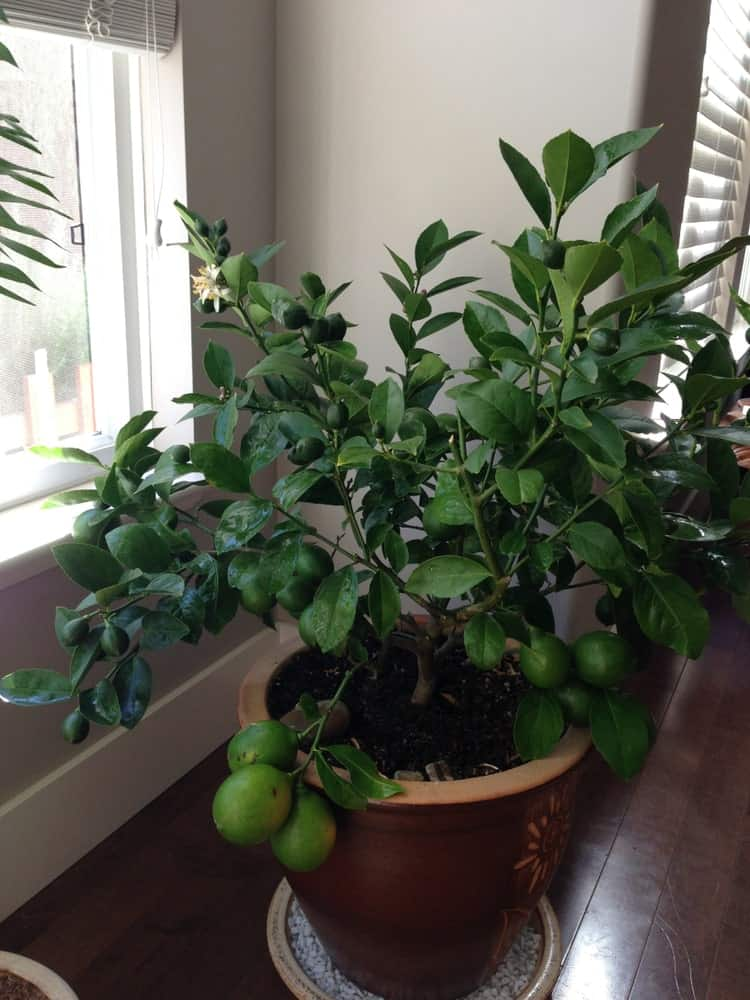 A close look at a Meyer lemon tree in a pot by the window.