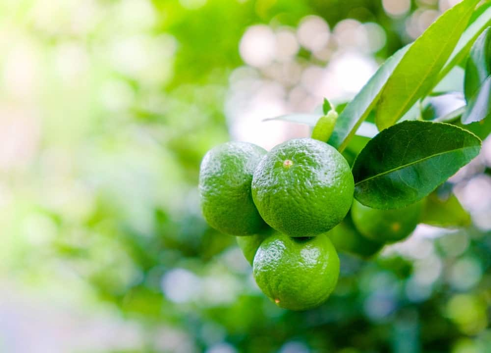 A close look at a cluster of key limes.