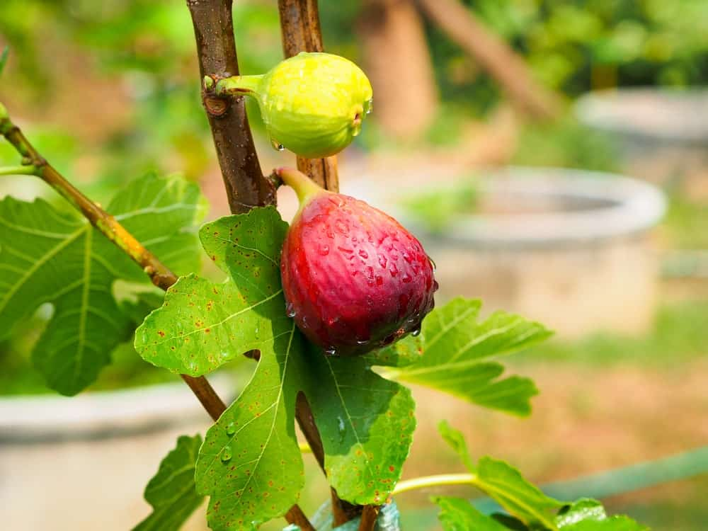 A close look at a couple of fig fruits growing off a tree.
