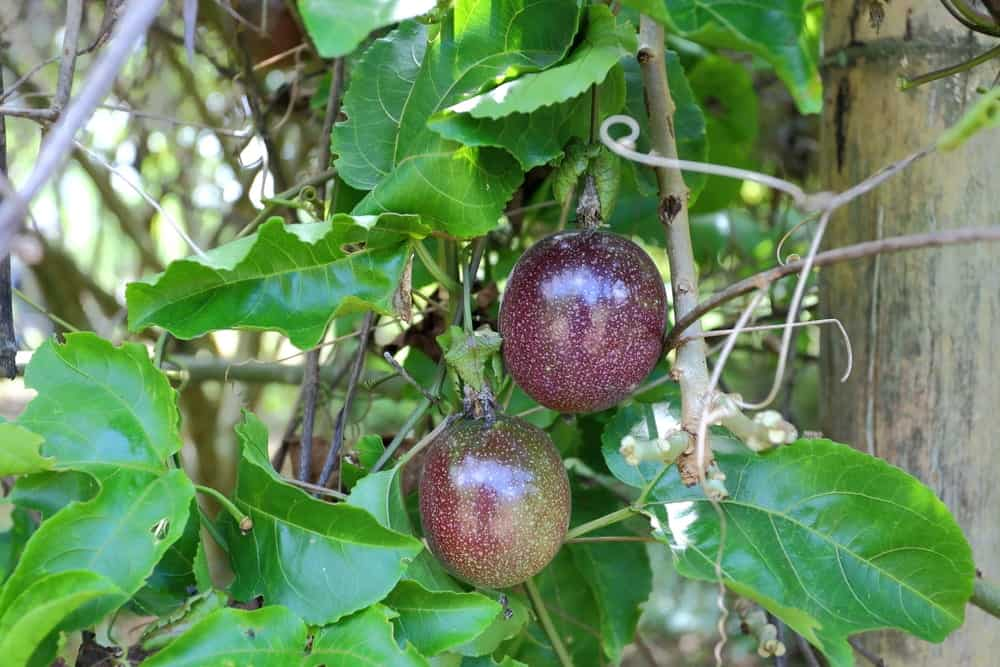 A close look at a couple of passion fruits at the tree.