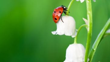 A single ladybug crawling on a white flower.