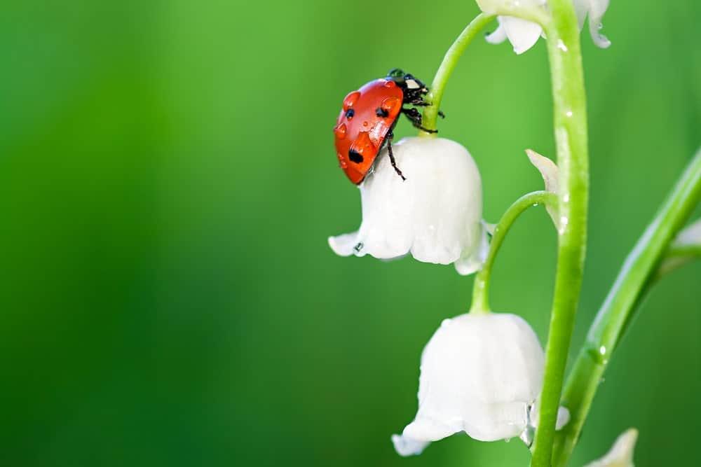 A single ladybug crawling on a white flower.