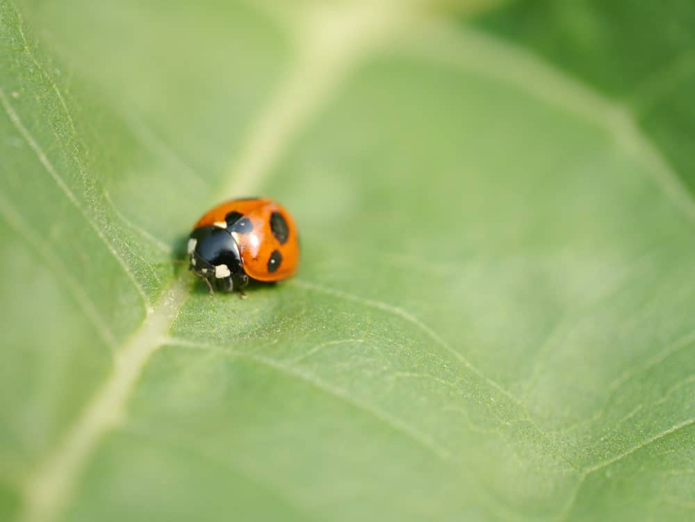 This is a close look at a ladybug crawling on a leaf.