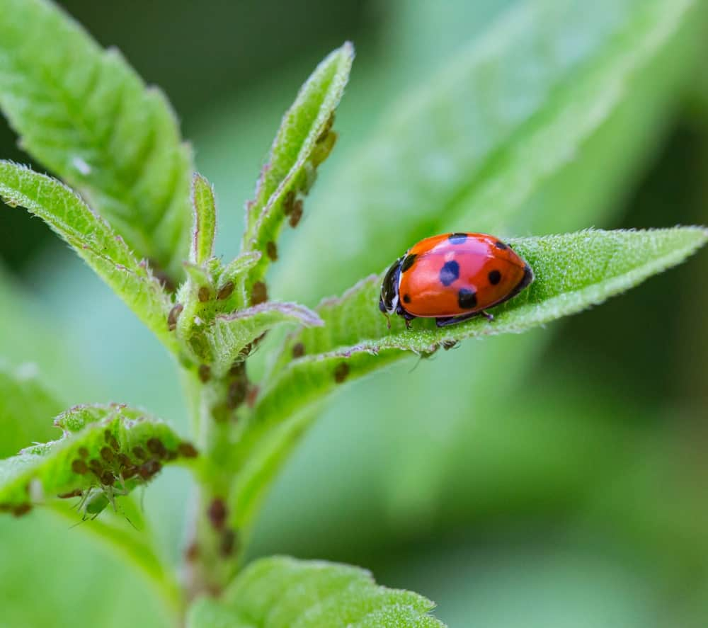 A ladybug and its eggs on the leaves.