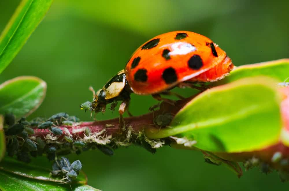 A ladybug eating insect pests.
