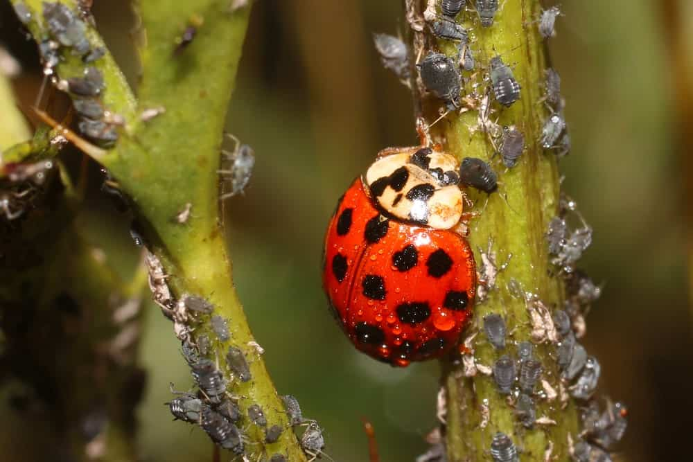 A single ladybug eating the aphids pests of the plant.