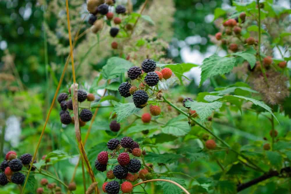 A close look at clusters of blackberries growing.