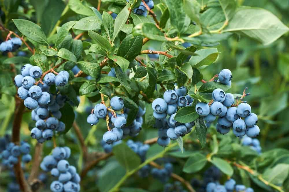 Clusters of blueberries ready to be harvested.
