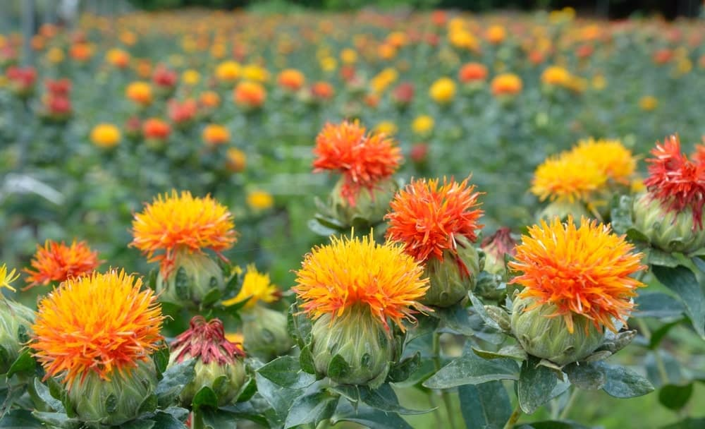 A close look at a field of blooming safflowers.