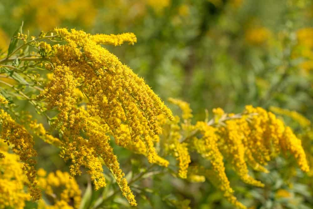 A close look at clusters of goldenrod flowers.