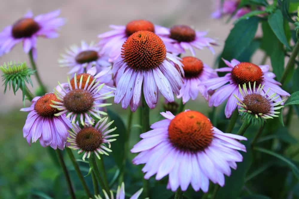 A close look at clusters of coneflowers blooming.