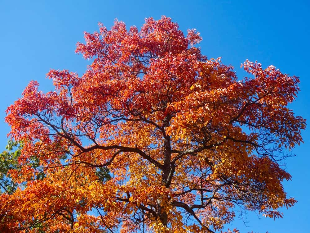 A tall tree with orange leaves.