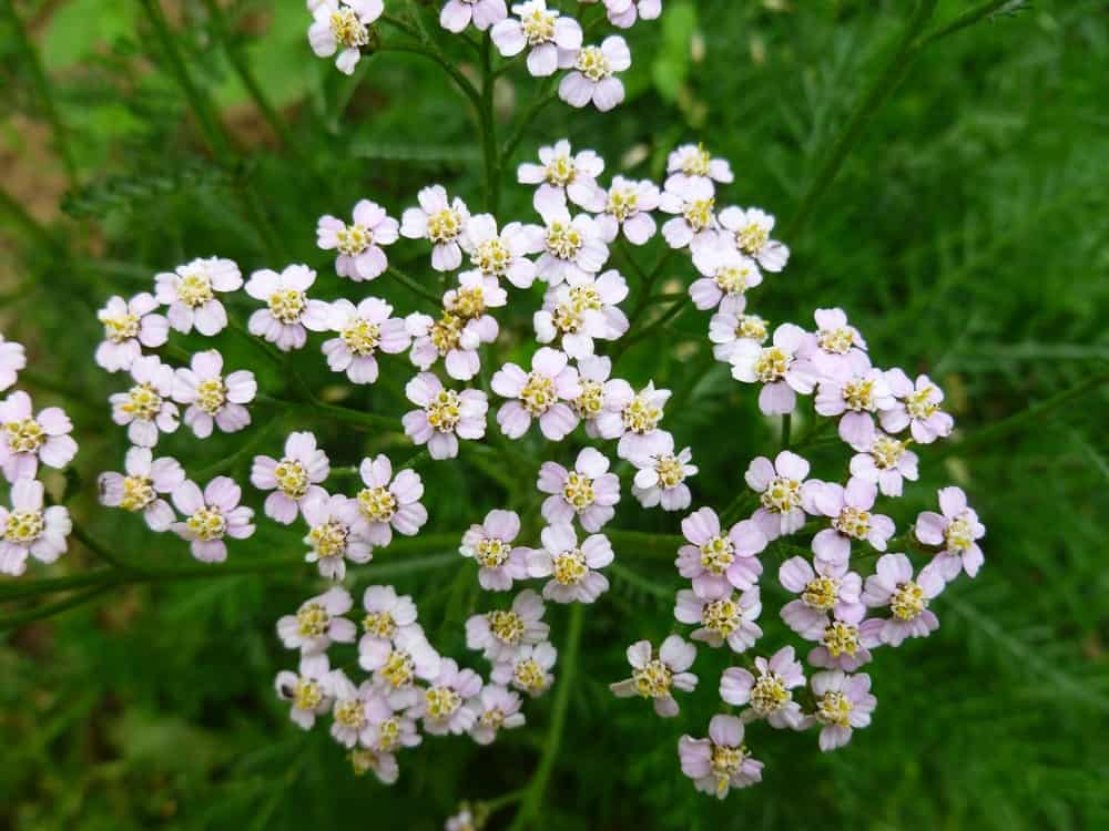 A close look at blooming yarrow flowers.
