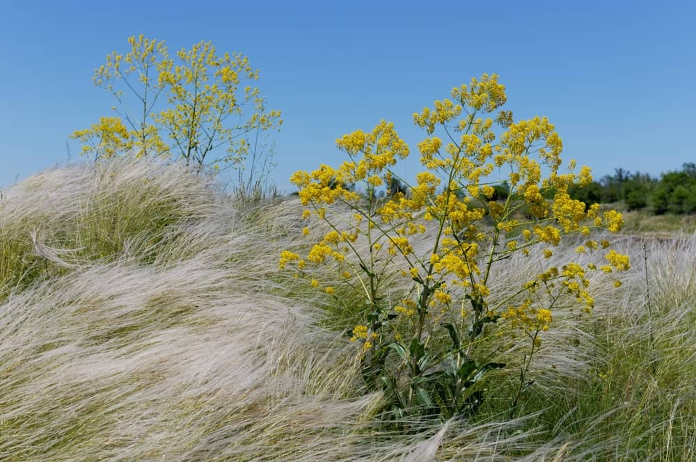 A look at a wild Isatis Tinctoria with the grass.