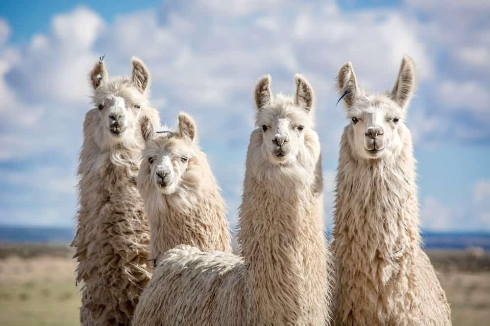 A group of four Llamas at a farm landscape.