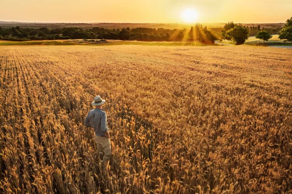 A man standing in a vast field of wheat.