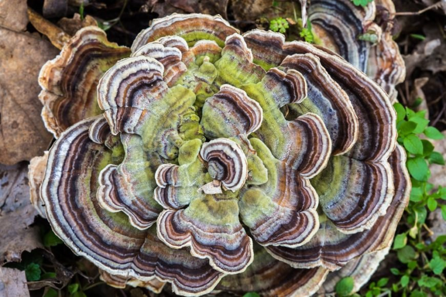 This is a top view of a large healthy Turkey Tail Mushroom.