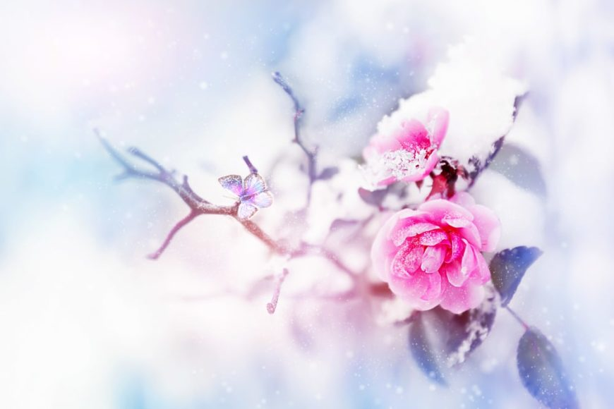 A flowering pink rose with snow falling.