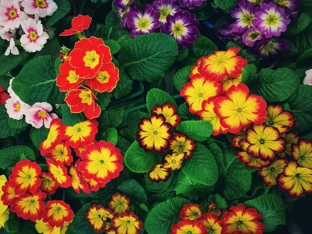 A look at colorful English primrose flowers.