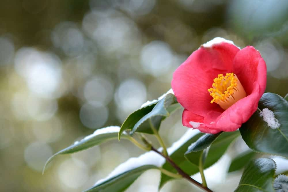 A close look at a flowering Camellia flower during winter.