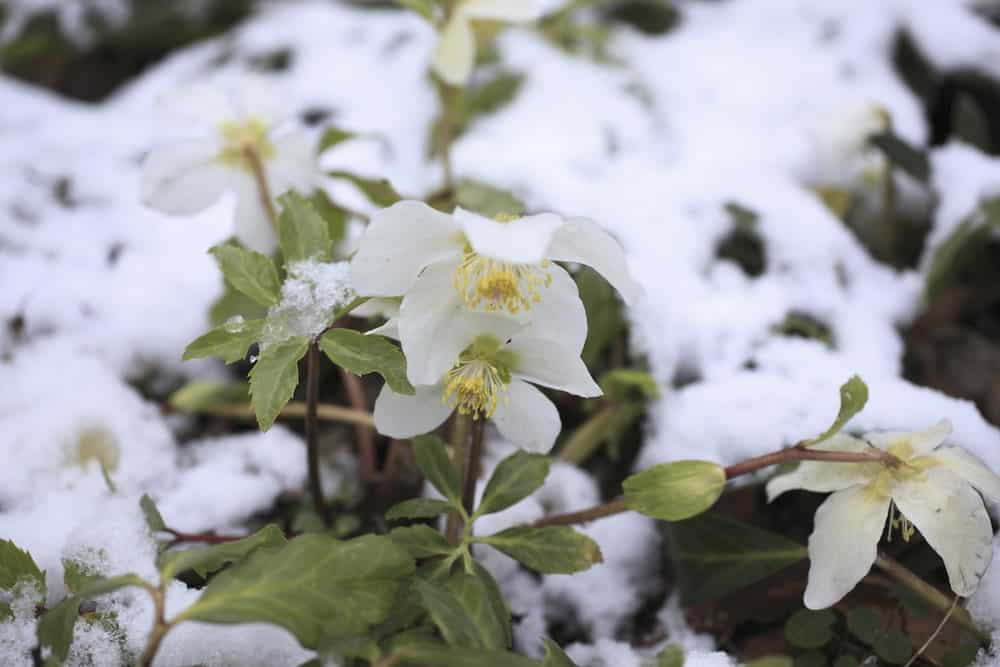 A close look at white flowering Christmas roses.