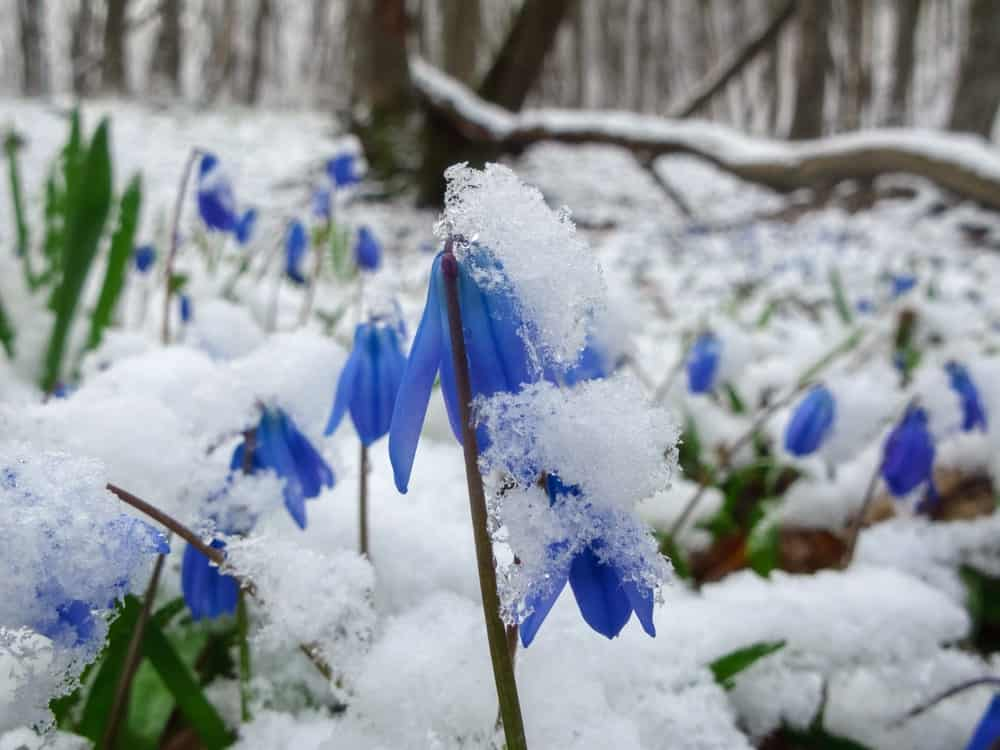A snowy garden with flowering blue scilla.