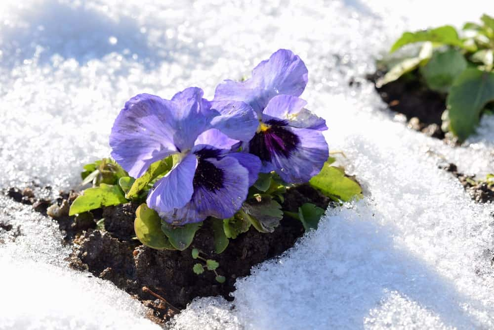 A couple of purple winter pansies surrounded by snow.