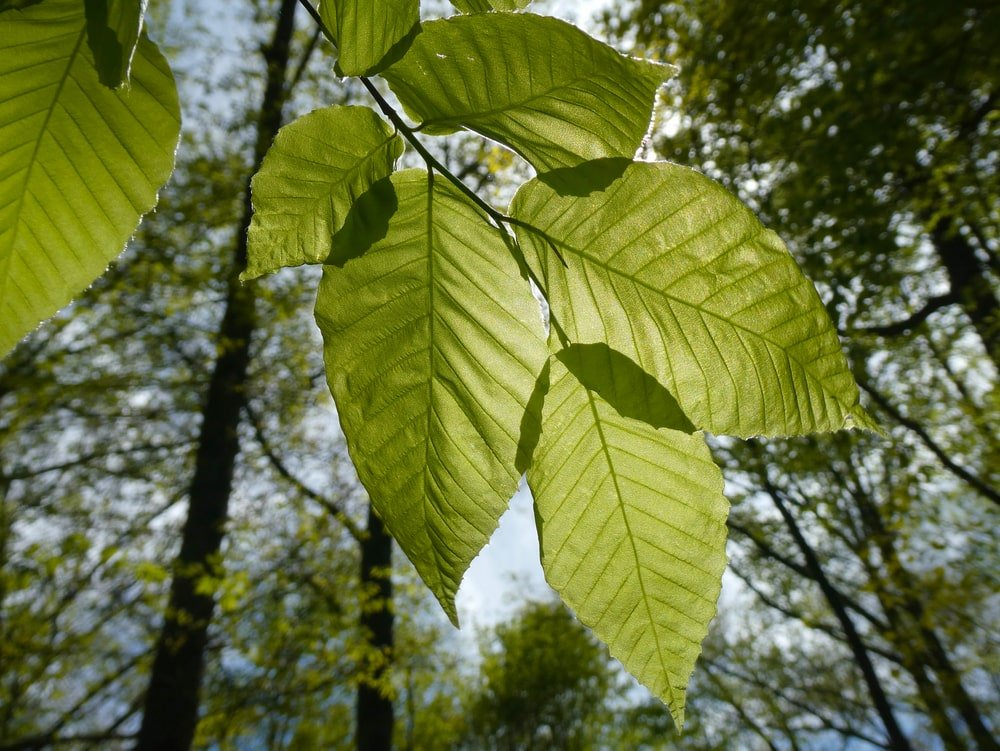 This is a close look at a cluster of American Beech leaves.