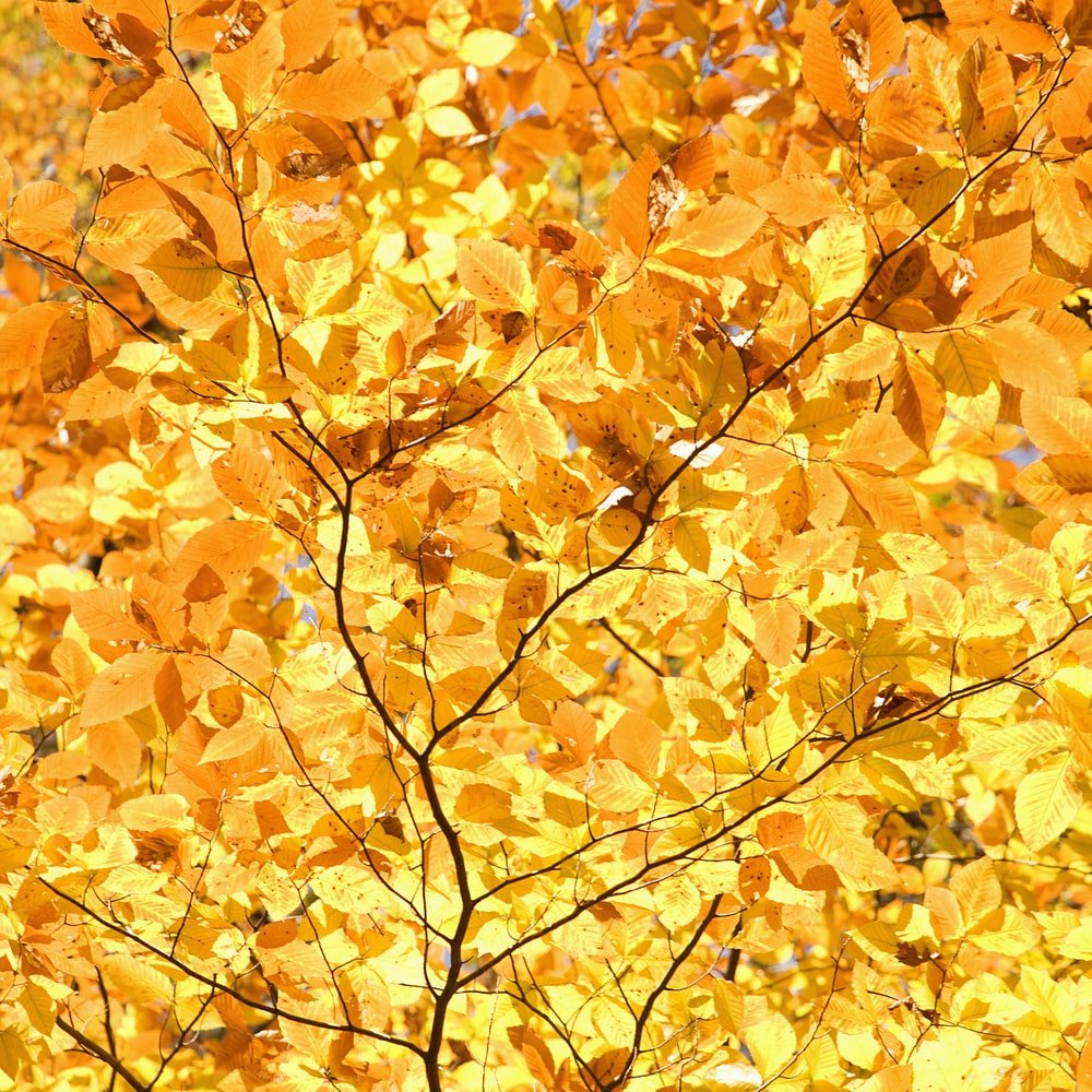 This is a close look at the autumn leaves of a beech tree.