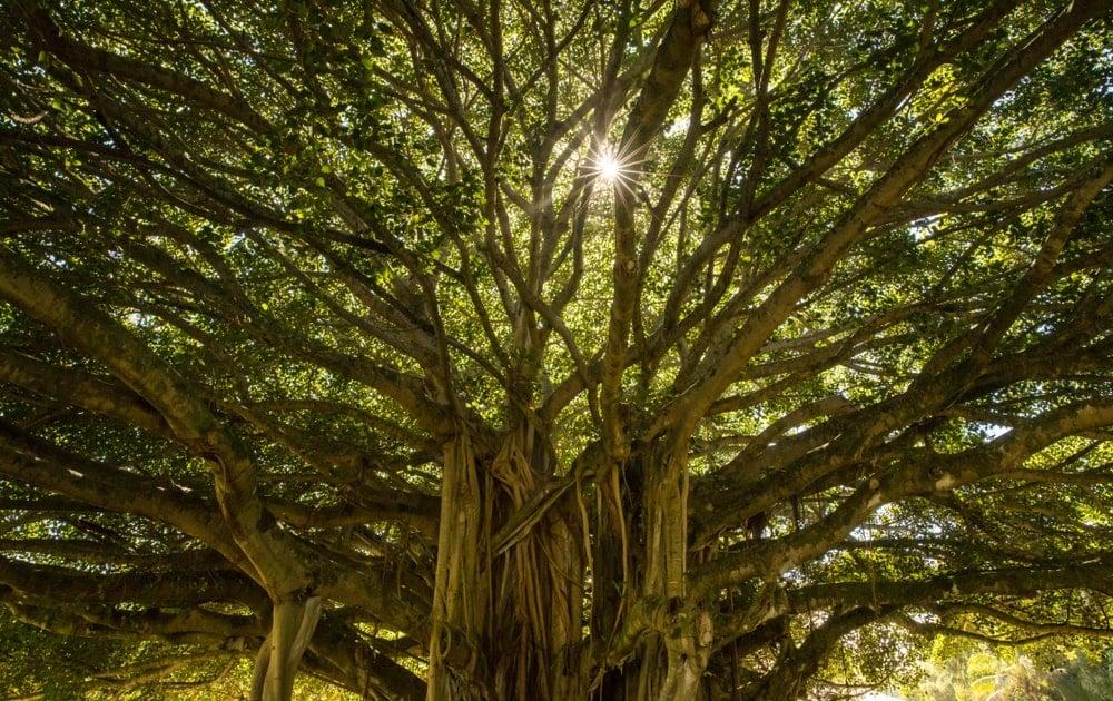 Sun peeking through the banyan tree.
