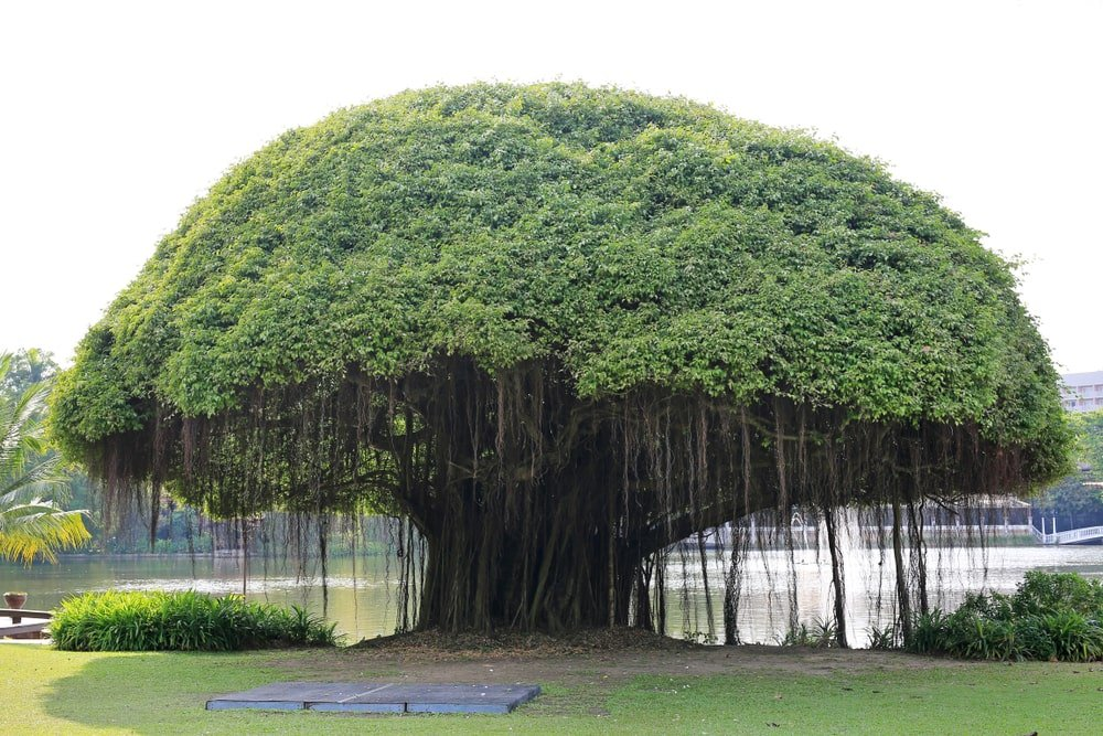 Huge banyan tree near the lake.