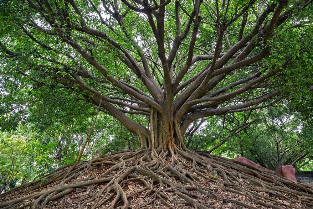 A close shot of a banyan tree.