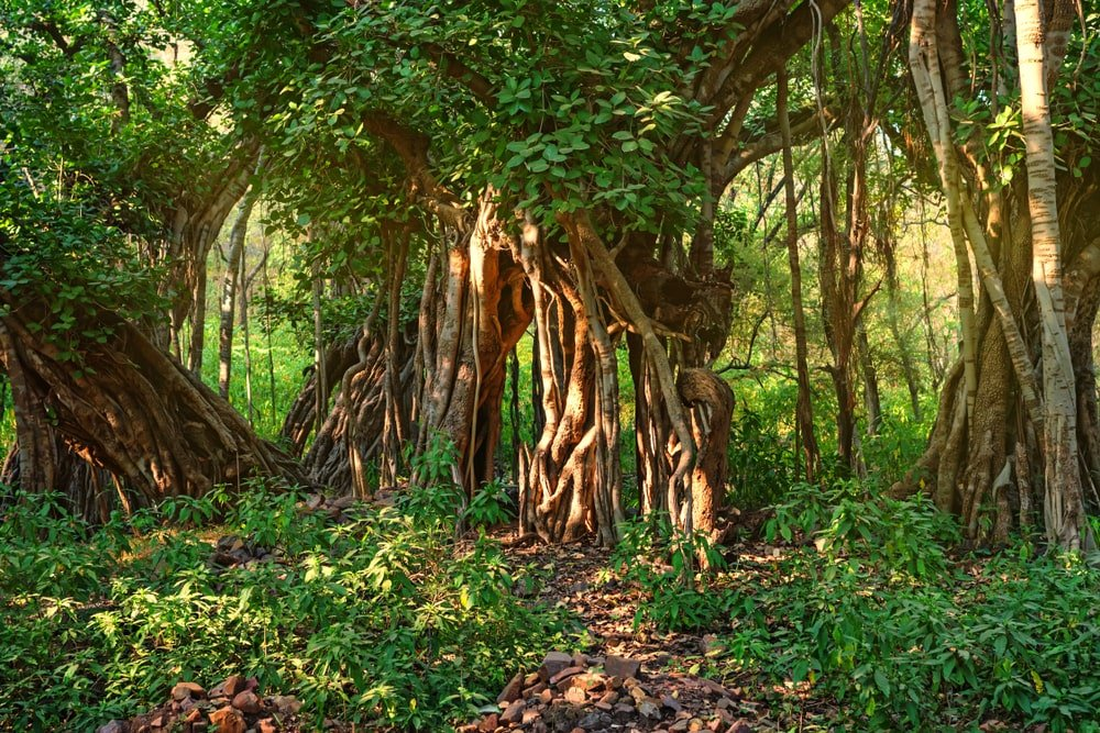 Scenic view of the jungle with banyan trees.