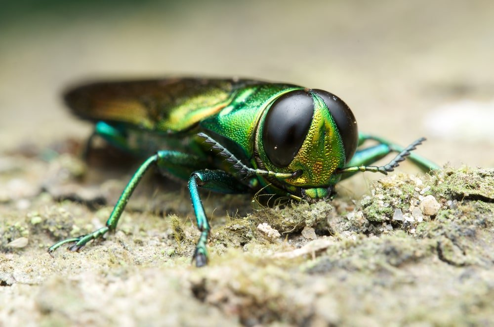 Closeup of an emerald ash borer.