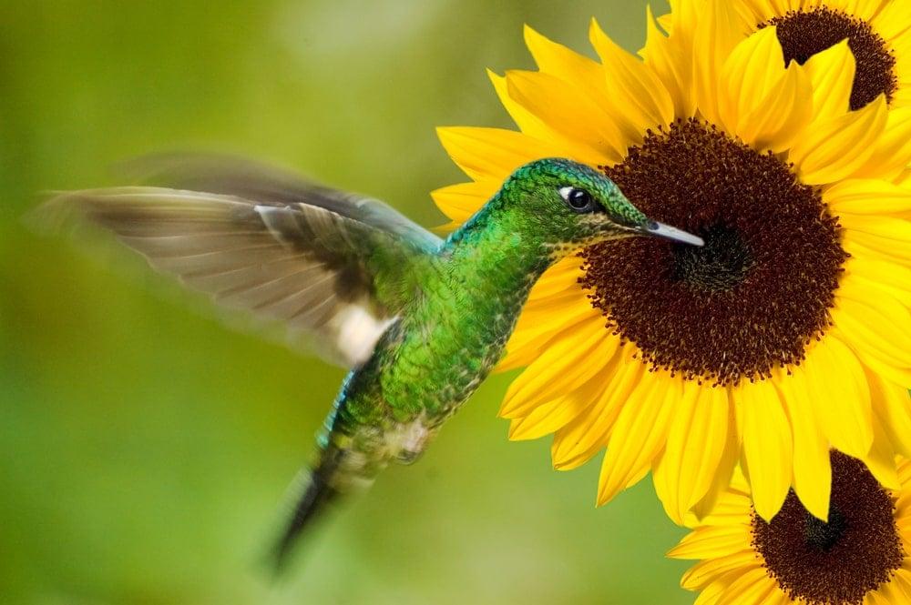 A hummingbird feeding on a sunflower.