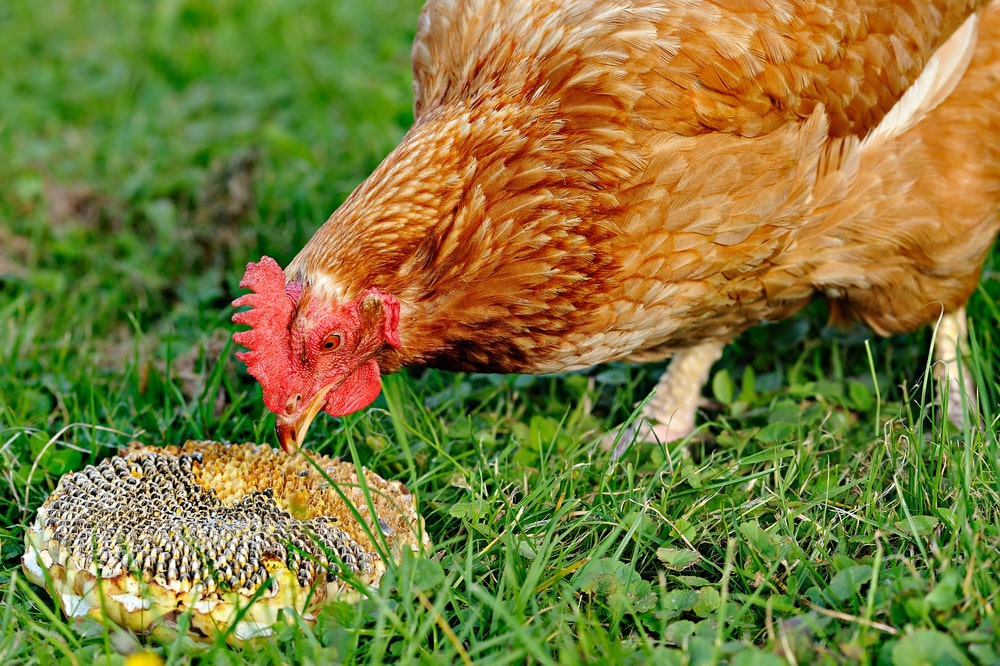 A chicken feeding on a sunflower.