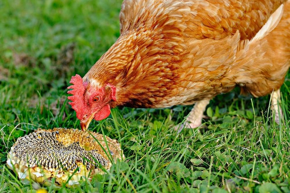A chicken feeding on a sunflower.