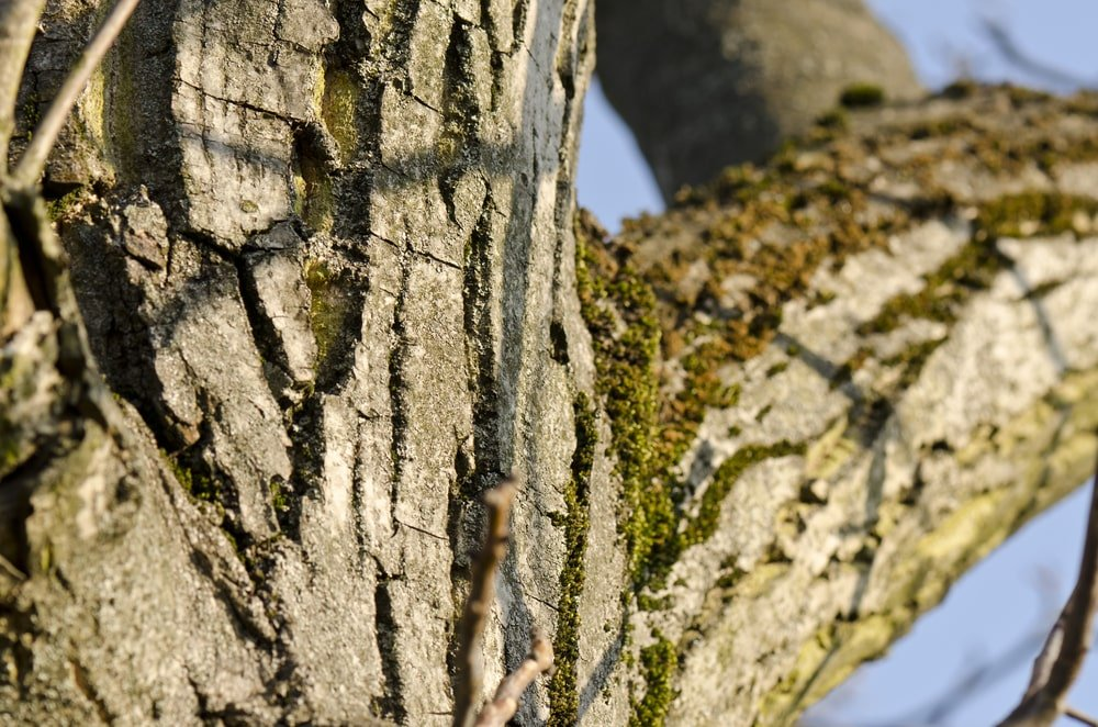 This is a close look at the trunk of a butternut tree.