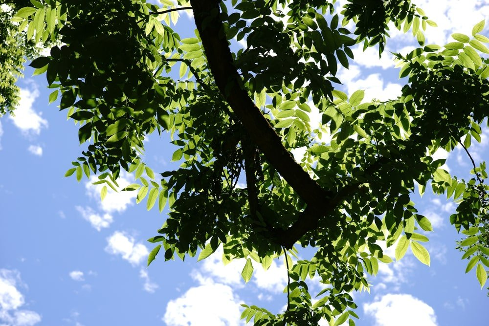 A look at the branch and leaves of a butternut tree.