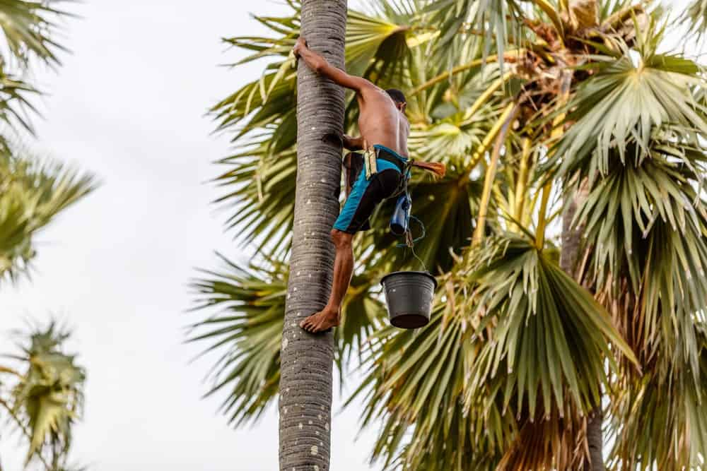 Man climbing a coconut tree to collect sap for palm sugar production.