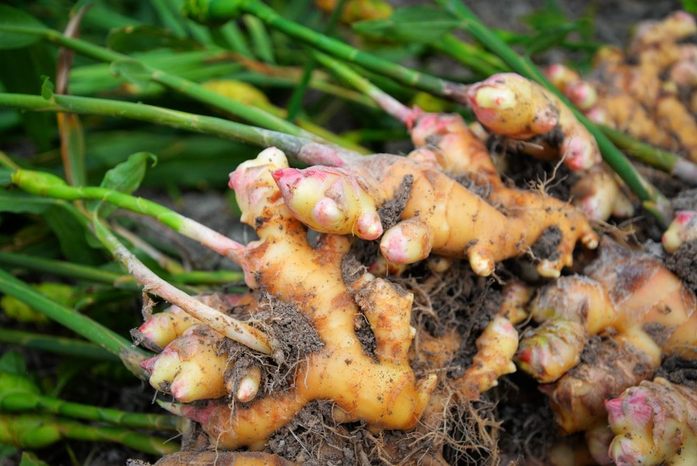 A close look at a bunch of freshly-harvested ginger root.