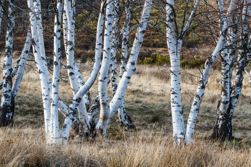 This is a close look at a collection of gray birch trees.