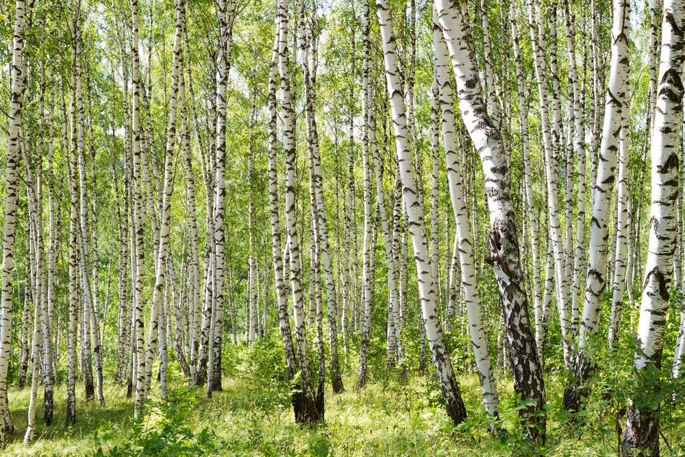 This is a look at a forest of gray birch trees with grass.