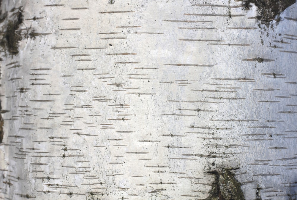 This is a close look at the bark of a gray birch tree.