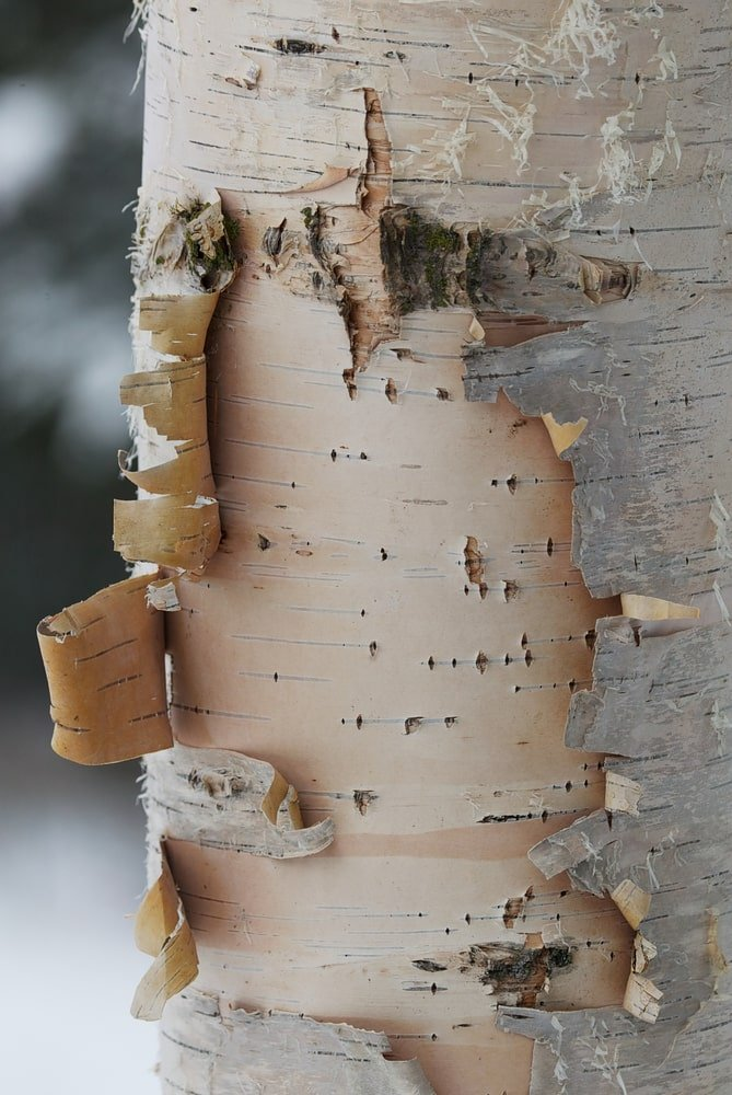 This is a close look at a peeling trunk of a birch tree.