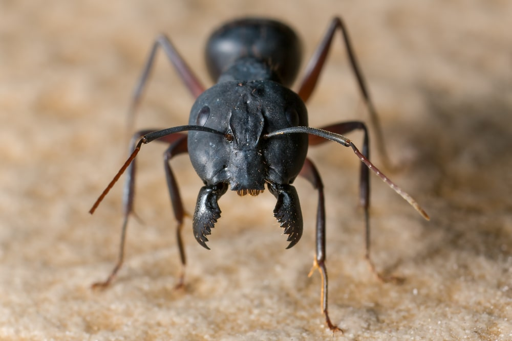 A very close look at a black ant.